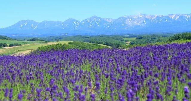 北海道の観光地「ラベンダー畑」イメージ画像
